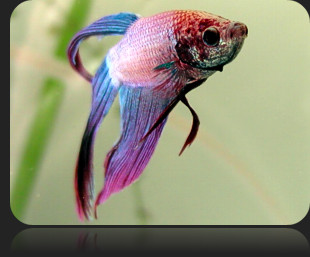Tips on Keeping the Siamese Fighting Fish